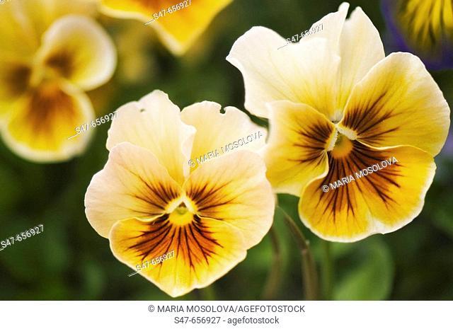 Yellow Pansy Flowers. Viola x wittrockiana. May 2007, Maryland, USA