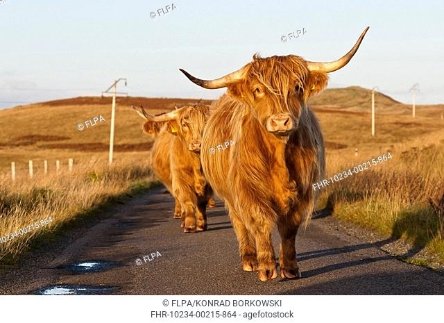 Domestic Cattle, Highland cows, walking on road in moorland, Ardfin Estate, Isle of Jura, Inner Hebrides, Scotland