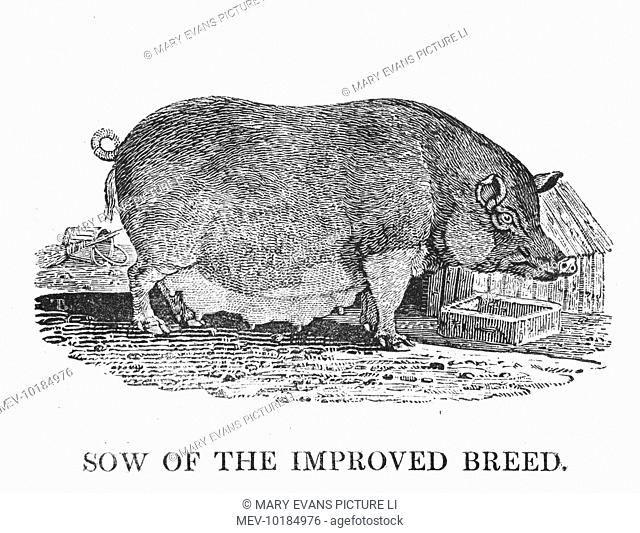 A mixture of Chinese Black Swine with the larger British breed, this busy sow produced three litters (50 pigs) in ten months for Arthur Sherburn of county...