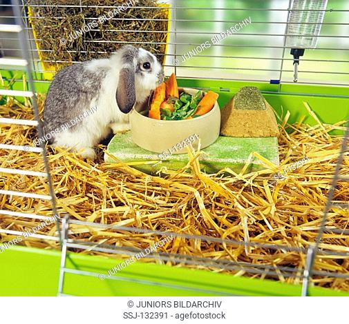 lop-eared dwarf rabbit in cage - munching restrictions: Tierratgeber-Bücher / animal guidebooks, puzzles worldwide, mobile phone content worldwide