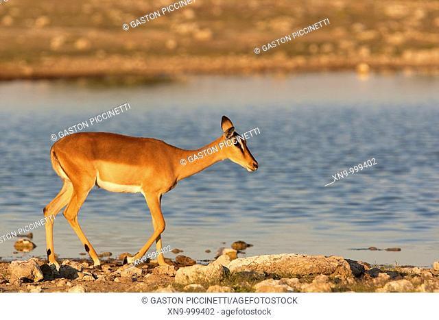 Black-faced impala Aepyceros melampus , Etosha National Park, Namibia, Africa