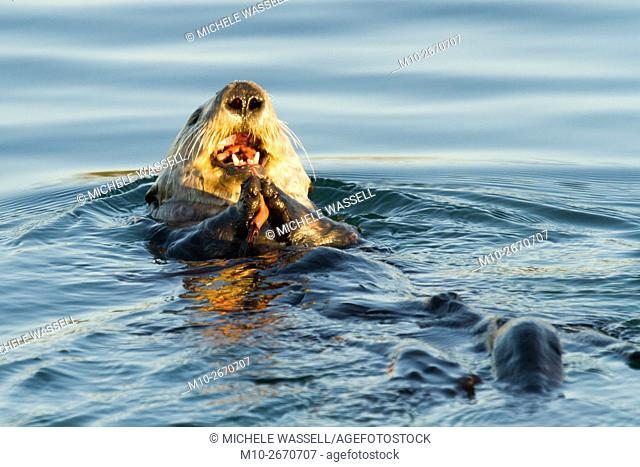 Sea Otter eating in Moss Landing, California, USA