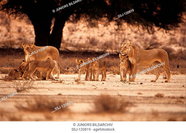 lionesses with cubs / Panthera leo