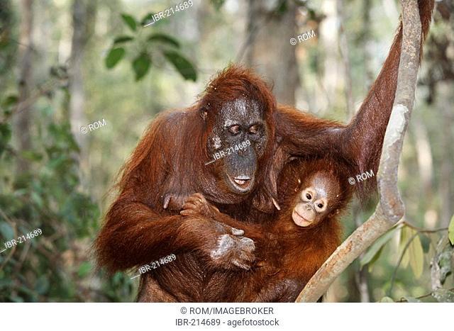 Orang-Utan (Pongo pygmaeus) in Tanjung Putting national park, Central-Kalimantan, Borneo, Indonesia