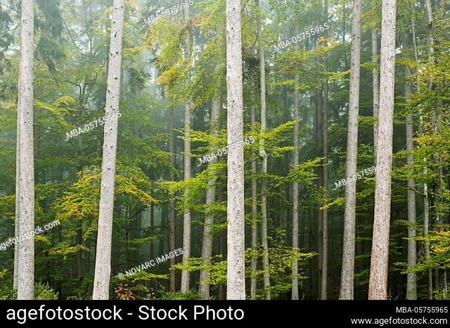 Herbstwald, Augsburg Nature Park Western Forests, Swabia, Bavaria, Germany, Europe