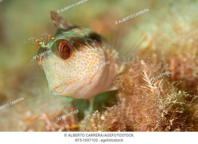 Ringneck Blenny, Parablennius pilicornis, Cabo Cope Puntas del Canegre Natural Park, Mediterranean Sea, Murcia, Spain, Europe