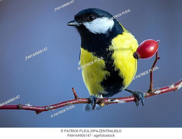 A great tit sits on a tree branch in a garden in Sieversdorf, Germany, 8 January 2016. The Nature and Biodiversity Conservation Union (NABU) and its Bavarian...