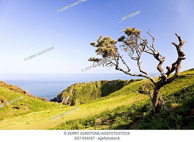England Devon Little Dartmouth Weathered tree and coastal path near Warren Point