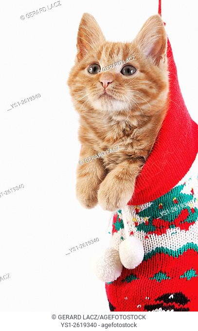 Red Tabby Domestic Cat, Kitten standing in Christmas Sock