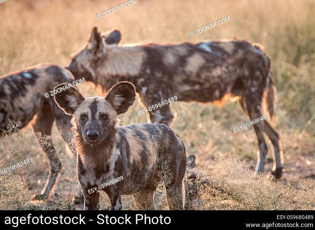 An African wild dog staring at the camera in the Sabi Sand Game Reserve, South Africa