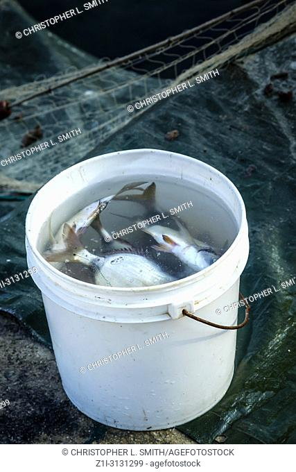 Today's catch in a bucket of water belonging to subsistence fishermen at Punat on the Croatian island of krk