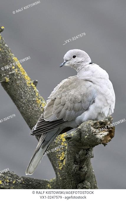 Eurasian Collared Dove / Türkentaube ( Streptopelia decaocto ) in winter, perched in a tree, turning its head, watching back, wildlife, Europe