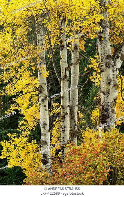 Aspen trees in autumn colors, Lower Engadin, Engadin, Grisons, Switzerland