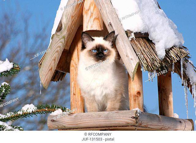 Sacred cat of Burma - in birdhouse