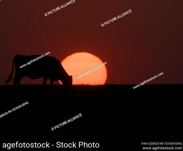 21 September 2020, Saxony, Dresden: A cow stands in a meadow in the Schönfeld highlands before the setting sun. Photo: Robert Michael/dpa-Zentralbild/dpa