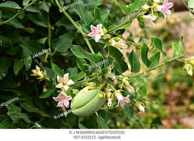 Cruel vine (Araujia sericifera) is a perennial vine native to South America and naturalized in south Europe, North America and Australia