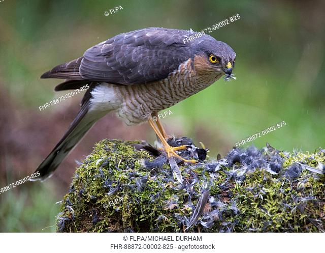Eurasian Sparrowhawk (Accipiter nisus) adult male at plucking post with Coal tit (Parus ater) prey, Dumfries and Galloway, Scotland, May