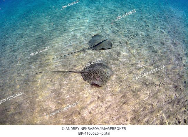 Whiptail Stingrays, Reticulate Whiprays or Honeycomb Stingrays (Himantura uarnak) swimming above sandy seabed, Red Sea, Marsa Alam, Abu Dabab, Egypt