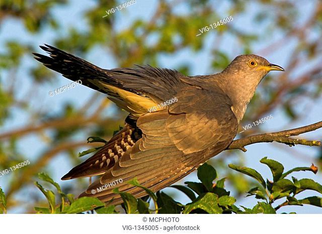 Common Cuckoo - Eurasian Cuckoo - Germany, Europa, 01/08/2008