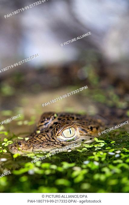 19 July 2018, Hoyerswerda, Germany: A young Cuba crocodile (Crocodylus rhombifer) is sitting in a terrarium at the press conference of Zoo Hoyerswerda