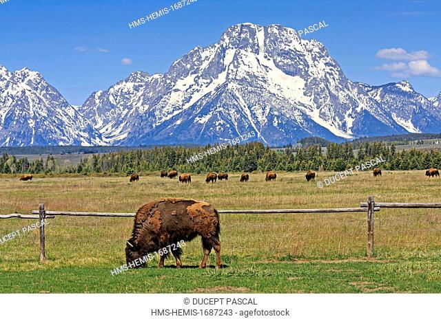 United States, Wyoming, Grand Teton National Park, bisons grazing in front of Mount Moran
