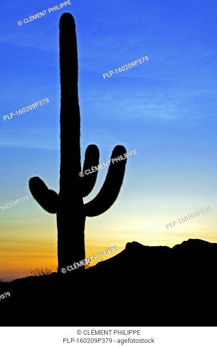 Saguaro cactus (Carnegiea gigantea / Cereus giganteus / Pilocereus giganteus) silhouetted against sunset in the Sonoran desert, Arizona, USA