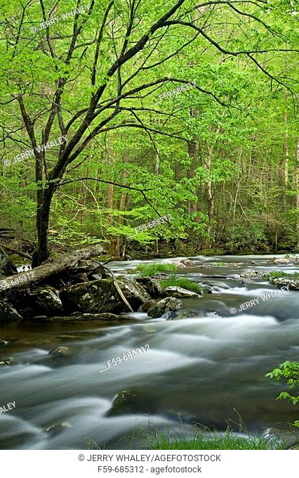 Middle Prong, Little River, Tremont, Great Smoky Mtns Nat  Park, TN