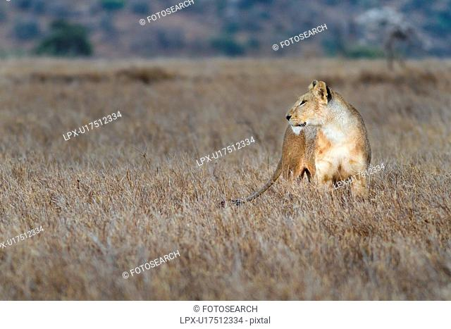 Close up side view of lioness with wet fur standing in long dry grass, Lewa Downs, Kenya, East Africa