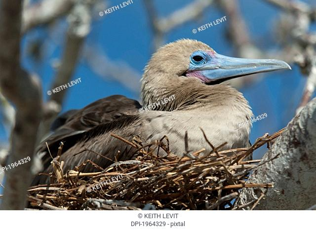 red-footed booby sula sula sitting in a nest, galapagos, equador