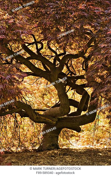 Japanese Maple contorted trunk, backlit fr below, spring (Acer palmatum 'Dissectum'). Kubota, Seattle, Washington. USA