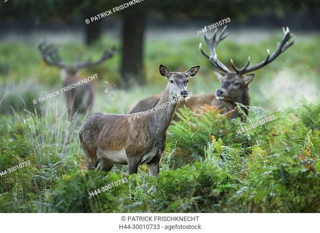 Rothirsch, Cervus elaphus
