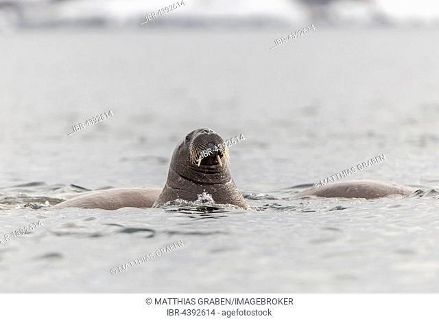 Walrus (Odobenus rosmarus) in the water, Svalbard, Spitsbergen, Norway