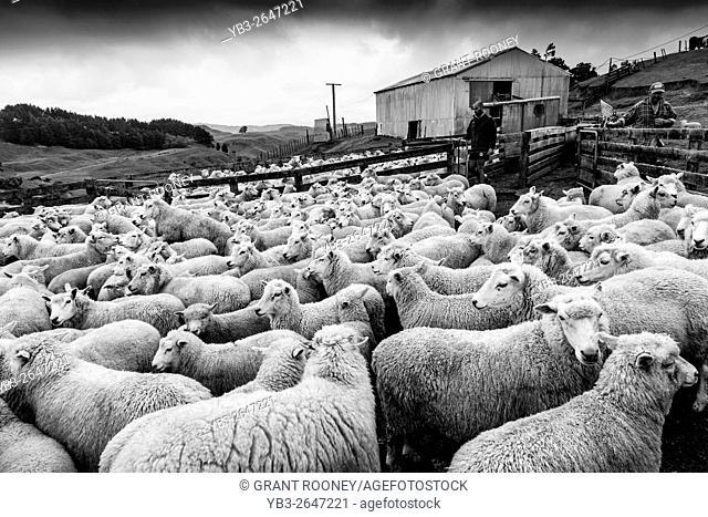 Sheep In A Pen Waiting To Be Sheared, Sheep Farm, Pukekohe, New Zealand