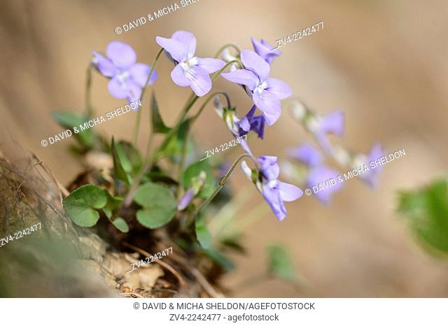 Close-up of common dog-violet (Viola riviniana) blossoms in spring