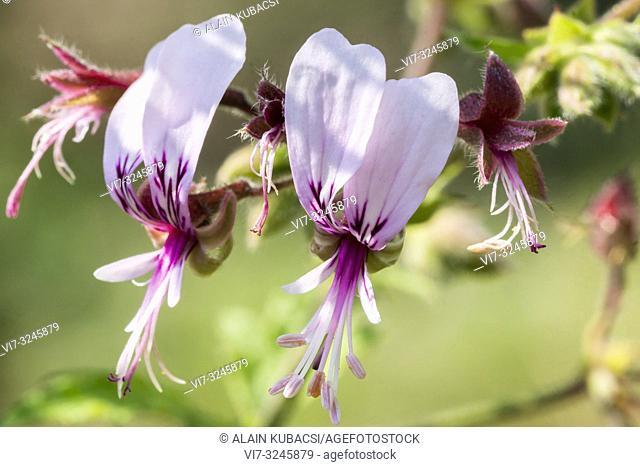 Pelargonium hispidum x papilionaceum