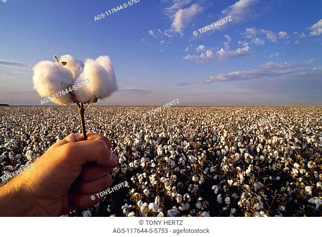 Agriculture - Hand holding a mature cotton boll, with a mature field in the background / Kern County, California, USA