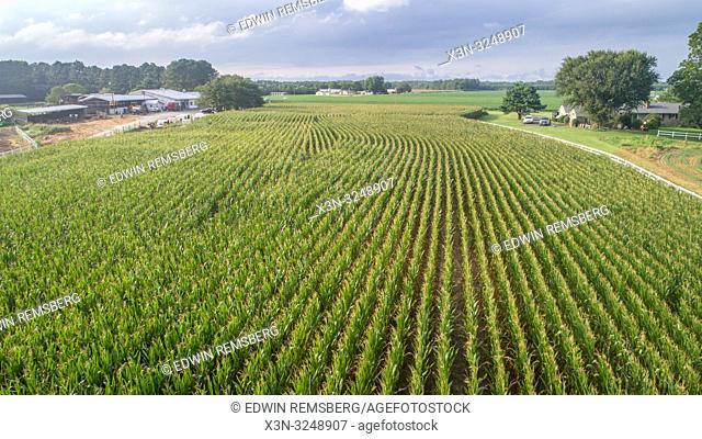 Aerial view of corn growing in field with farm buildings and residential home, Pokomoke, Maryland