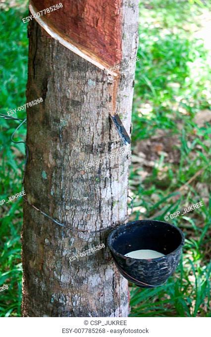 Rubber tree - Hevea brasiliensis (A. Juss.) Muell. Arg., plantat
