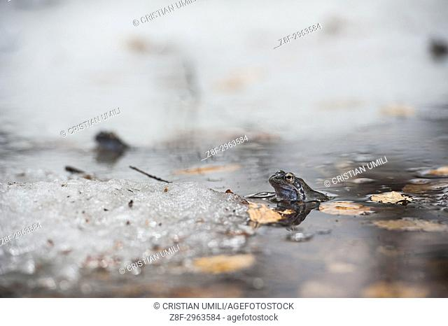 common frog in coupling time on ice little lake - rana temporaria - Val d'Aveto - Liguria - Italy