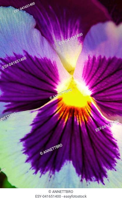 Extreme closeup, macro photography shot of purple viola tricolor or pansy flower, beautiful background