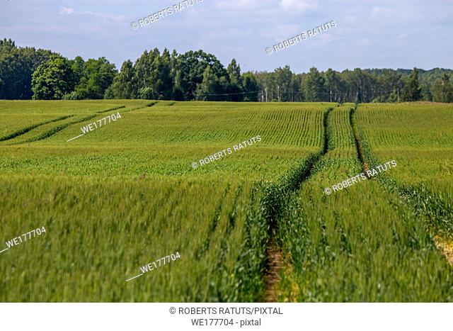 Dirt road path in cereal field landscape in spring. Tractor tire tracks on the field in Latvia. Summer landscape with green grain fields and meadow path