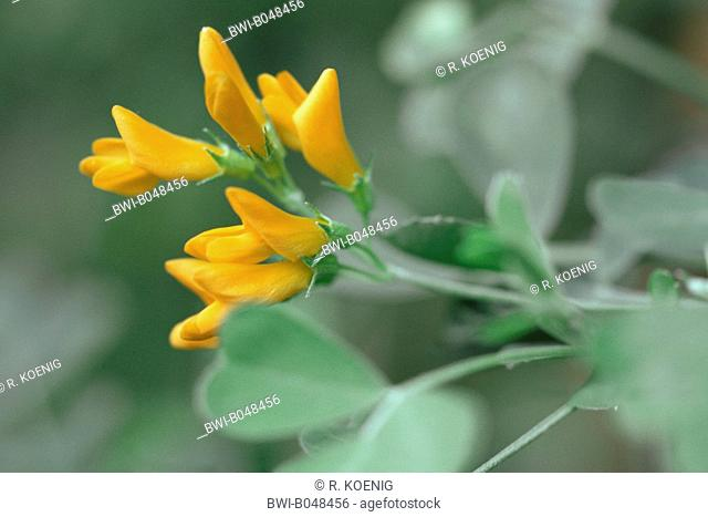 Tree medick (Medicago arborea), blooming