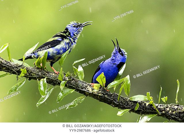 Red-legged Honeycreepers fighting - La Laguna del Lagarto Lodge, Boca Tapada, Costa Rica