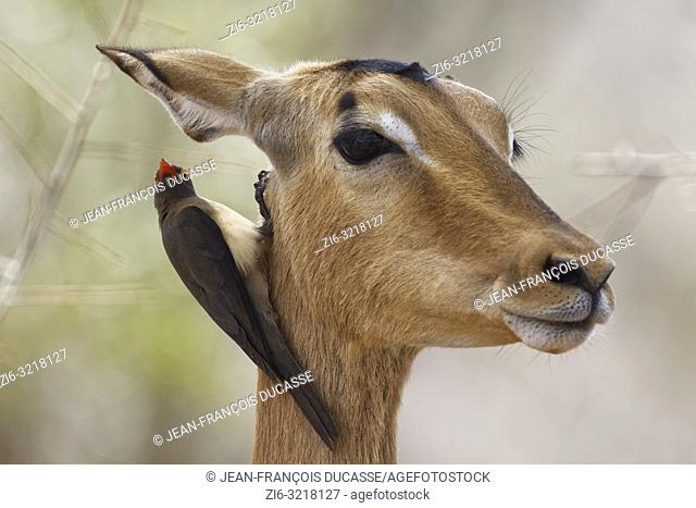 Red-billed oxpecker (Buphagus erythrorhynchus), hanging around the neck of a female impala (Aepyceros melampus), Kruger National Park, South Africa, Africa