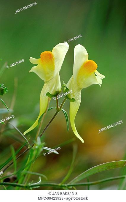 Common Toadflax (Linaria vulgaris) flowers, Netherlands