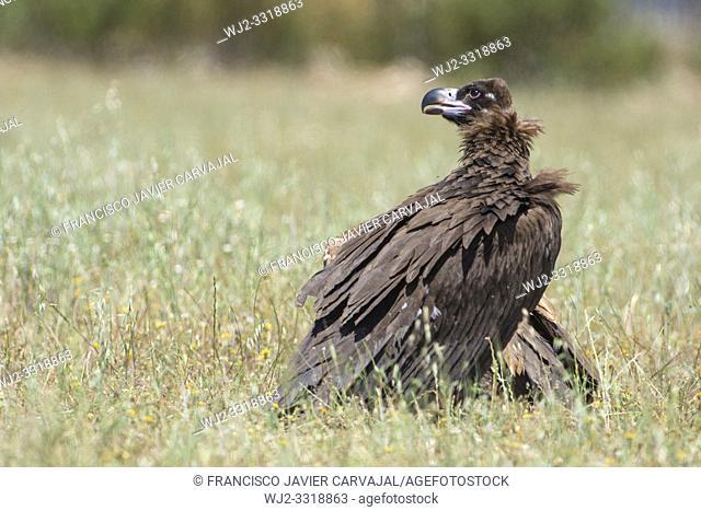Black vulture (Aegypius monachus) in a meadow Extremadura, Spain