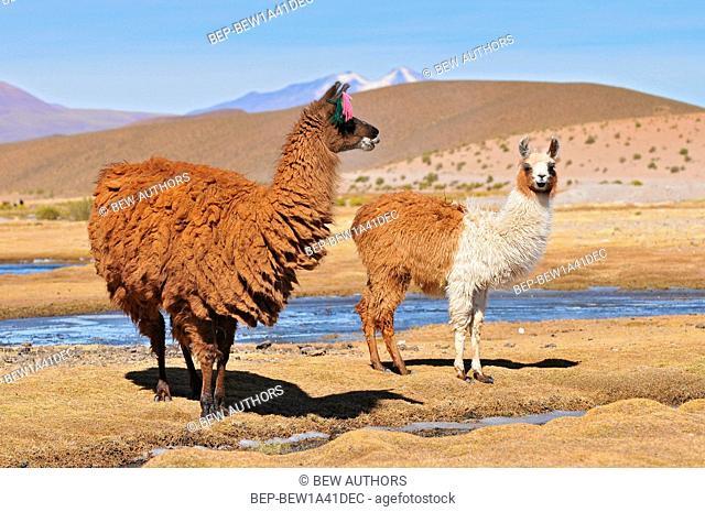 Bolivia, Llama, Female Llama with her Male Cria