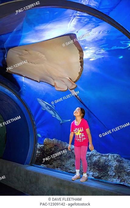 A young asian girl gets a close look at a Hawaiian Stingray (Dasyatis brevis) and blacktip reef shark (Carcharhinus melanopterus) at the Maui Ocean Center;...