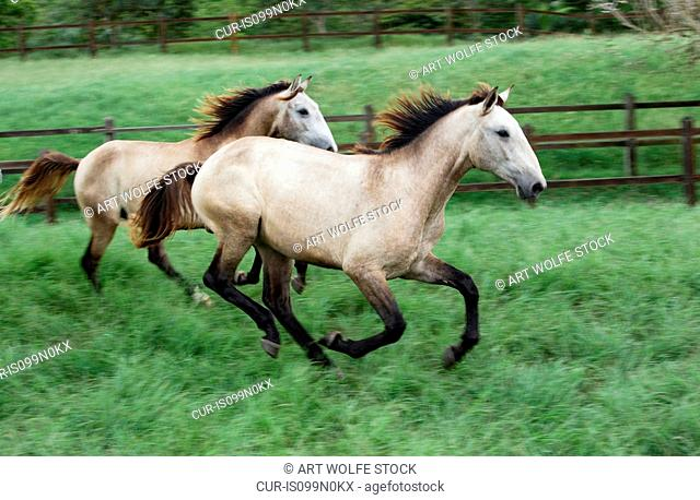 Lusitano horses run through a lush green field