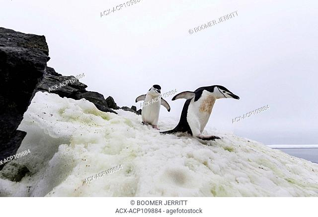 Chinstrap Penguins walk along a 'penguin highway' on Half Moon Island, Antarctic Peninsula